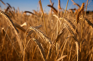 types of wheat